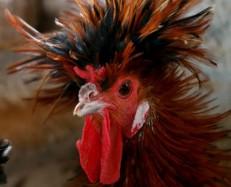 galinha-exotica-1396886509535_956x500