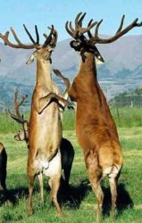 Briga de veados